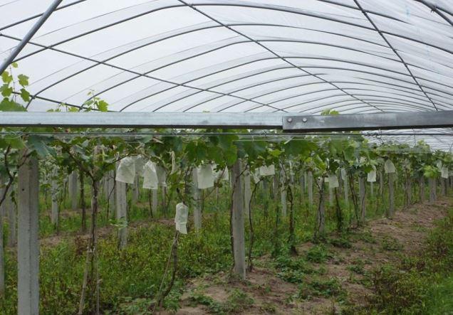 Sản xuất vải góp phần tăng năng suất và sản lượng cho nông dân