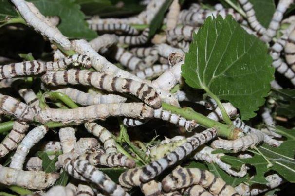 Tằm ăn suốt ngày đêm, lá dâu, lá sắn là những loại lá được dùng để nuôi tằm